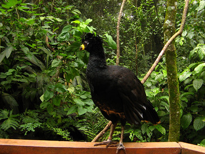 Male Curassow