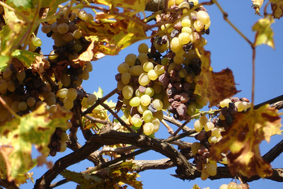 grapes at the pension