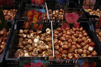 Bulk tulip bulbs
