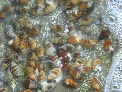 Sea snails are also popular here