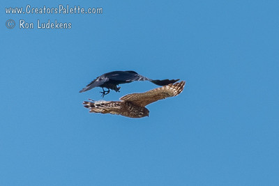 American Crow fearless drives off Red Shouldered Hawk