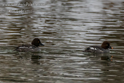 Female Common Goldeneye left and Female Barrow's Goldeneye right