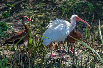Black Bellied Whistling Ducks with White Ibis