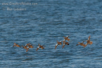 Blue-winged Teal (Spatula discors)