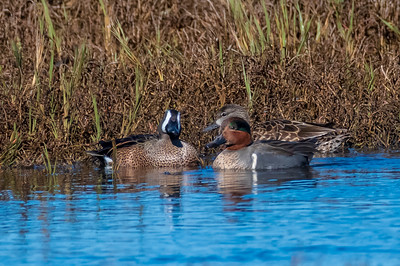 Blue Winged Teal on left, Green Winged Teal on right