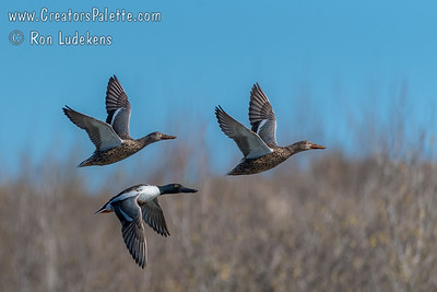 Northern Shovelers in flight - Oso Flaco Lake