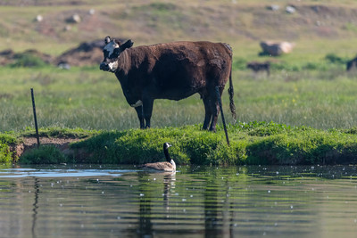 Goose was still giving the cow a piece of its mind.