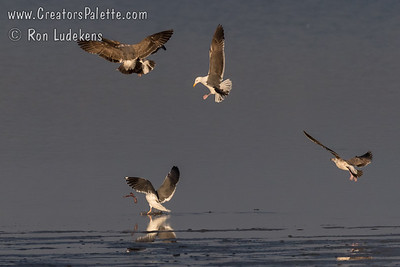 Western Gulls fighting over Eel found in shallows of Morro Bay.