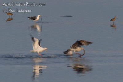 Western Gulls fighting over Eel found in shallows of Morro Bay