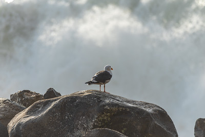 This western Gull seemed to have no concern about the 12 to 18 foot storm waves breaking in front of it.