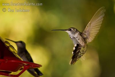 Humming Bird Photo taken at the home of Sue Merrill outside of Visalia, CA