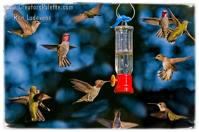 Hummingbirds 3B