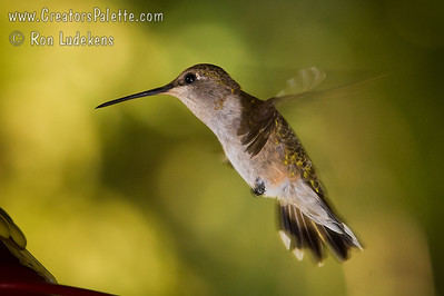 Humming Bird Photo taken at the home of Sue Merrill outside of Visalia, CA