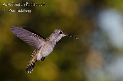 Hummingbirds - Photoshoot September  8, 2012