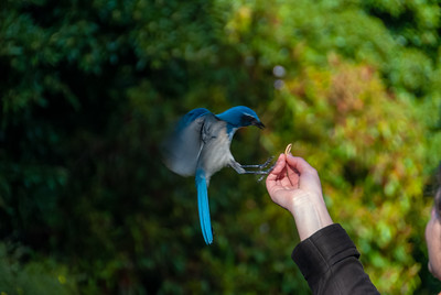 Bluejay eating peanuts out of foreign (French I think) lady's hand.