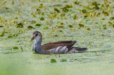 Common Loon in a sea of Duckweed — at Montezuma Wildlife Refuge, Seneca, NY