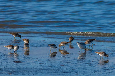 Least Sandpipers with one lone Sanderling