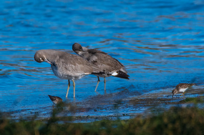 Least Sandpiper compared to much larger Willets
