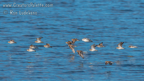 Least Sandpipers with one slightly larger Sanderling.
