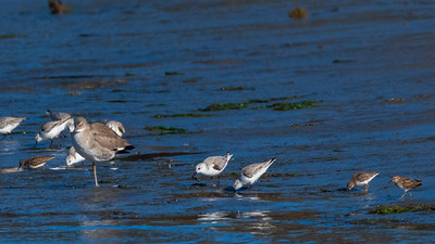 Willet, Sanderlings and Least Sandpipers from large to small