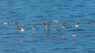 One Sanderling flying with group of Least Sandpipers.