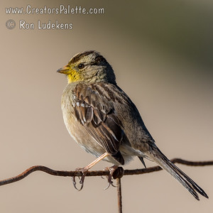 Immature White-crowned Sparrow covered in pollen.