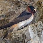 Cliff Swallow (Petrochelidon pyrrhonota )