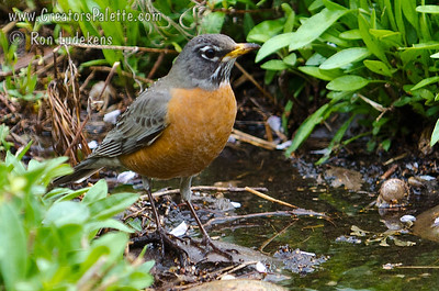After heavy rains we were surprised to see this group of Robins bathing in the muddy water.