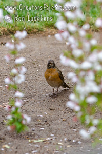 Robin behind blooms from Snow Fountains® Weeping Flowering Cherry