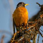 American Robins (Turdus migratorius)