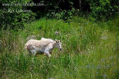 Rocky Mountain Goat seen along highway 89 near Hoback, WY.