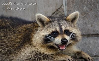 Raccoons (Procyon lotor)