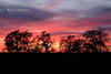 Majestic Valley Oaks silhouetted by sunset