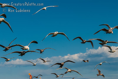Victoria, BC - Feeding Seagulls at Clover Point