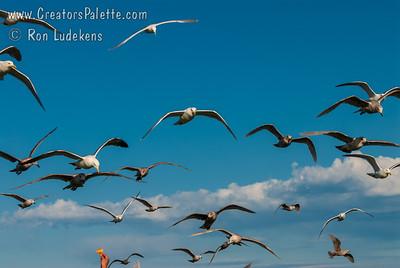 Victoria, BC - Feeding Seagulls at Clover Point