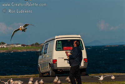 Feeding voracious Seagulls (Western Gull) on Clover Point with a 30-40 mile per hour wind which made the Seagulls fly nearly stationary.