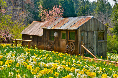 Image from Daffodil Hill - Amador County 4-16-2011