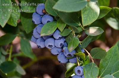 Jewel Blueberry. Image taken at Bravo Lake Botanical Gardens 6-11-11 during berry tasting day.