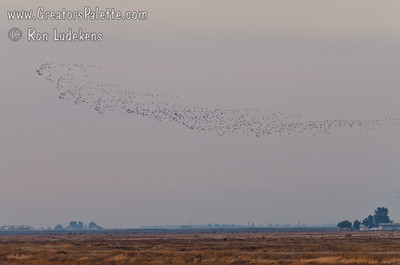 Large swarms of White-faced Ibis