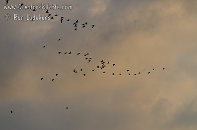 Large flocks of Seaguls returning to the Refuge after scavengering for the day.
