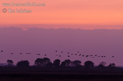 Sandhill Cranes arriving just as darkness sets in.