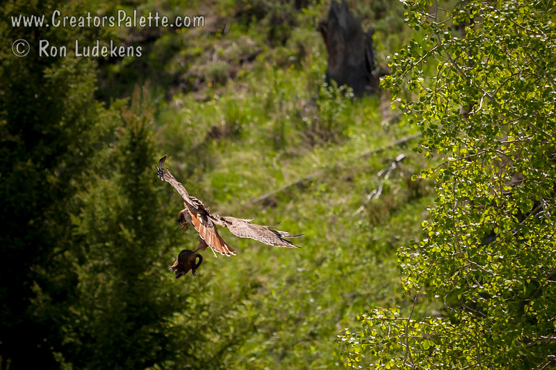Red Tailed Hawk flying off with squirrel
