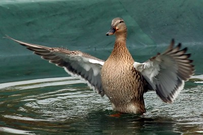 Female Mallard flaps her wings