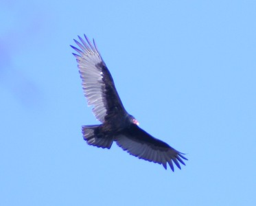 Turkey vulture over front yard