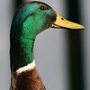 Male Mallard duck - head shot