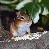 Serious chipmunk cheeks