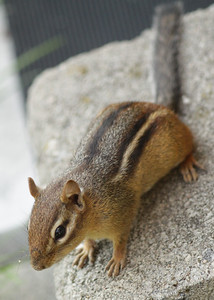 Noisy chipmunk