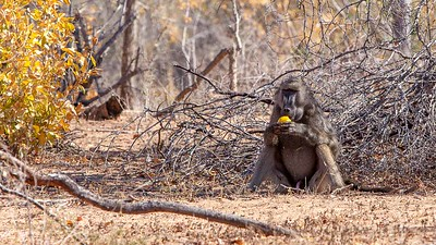 Chacma Baboon eating fruit