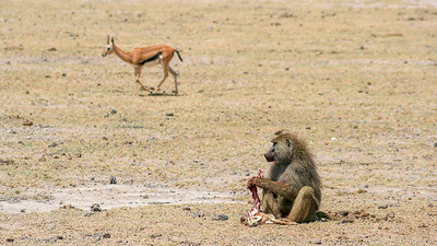 Chacma Baboon eating a Thomson Gazelle calf