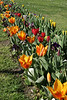 Tulips (Tulipa Lilliaceae), native to southern Europe, North Afirca, Anatolia, Iran, northeast China, and Japan.